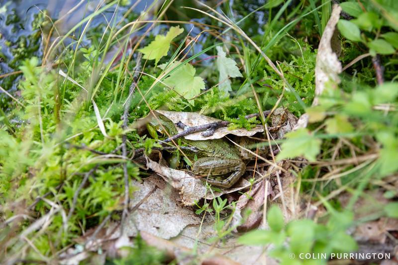 Green frog under a leaf