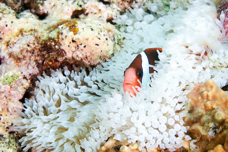 Anenome Fish 1.jpg