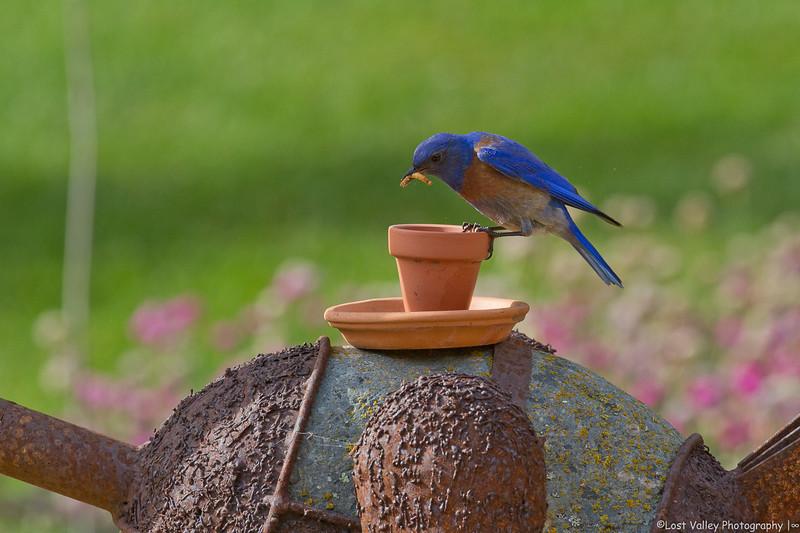 Western Bluebird 1-5530.jpg
