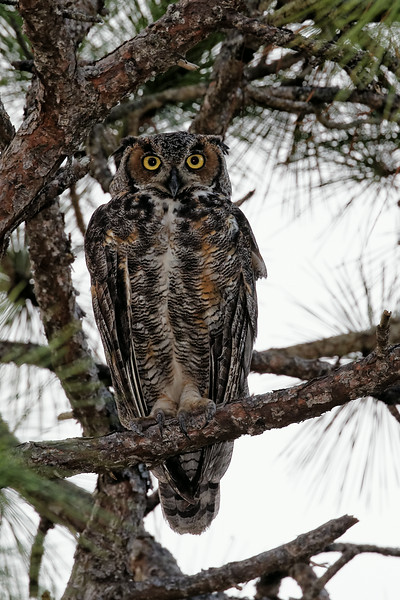 Great-horned Owl Resting in the Morning Light
