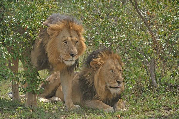 lions, bagh safari, masai mara