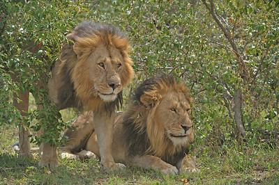 """""""Male lions in Masai Mara"""""""