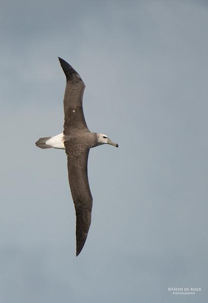 Shy Albatross, imm, Wollongong Pelagic, NSW, Aus, Oct 2013.jpg