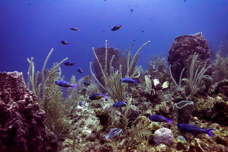 Fish with corals underwater, Belize Barrier Reef, Belize