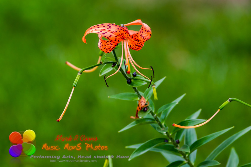 last tiger lily bloom of the summer