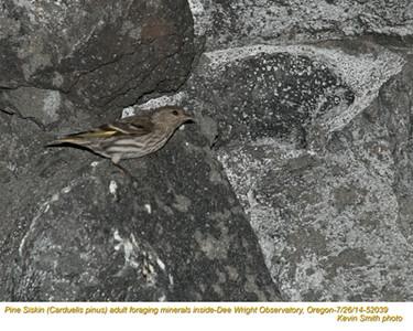 Pine Siskin A52039.jpg