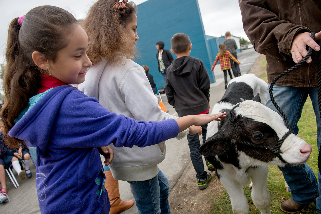 . Foster Elementary second-grader Elisa Chavez pets three-day-old Holstein cow Crunch while learning all about cows and milk from the Dairy Counsel of California\'s Mobile Dairy Classroom instructor Laura LaFayette at the Baldwin Park campus April 15, 2013.   (SGVN/Staff photo by Leo Jarzomb)