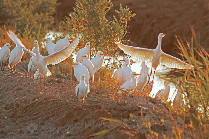 Cattle Egret Congregation ~ These Cattle Egrets were photographed near Salton Sea, in the early morning.  I liked the golden light soon after sunrise, backlighting the birds.