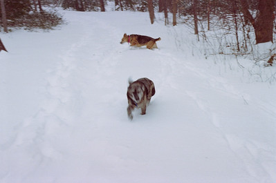 Aussie and Crocodile in the Snow 1-26-00