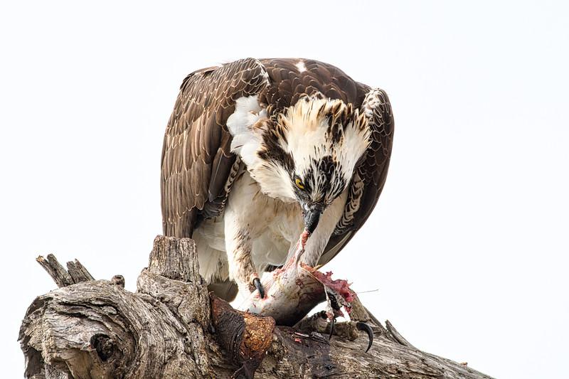 Barbee_Osprey.jpg
