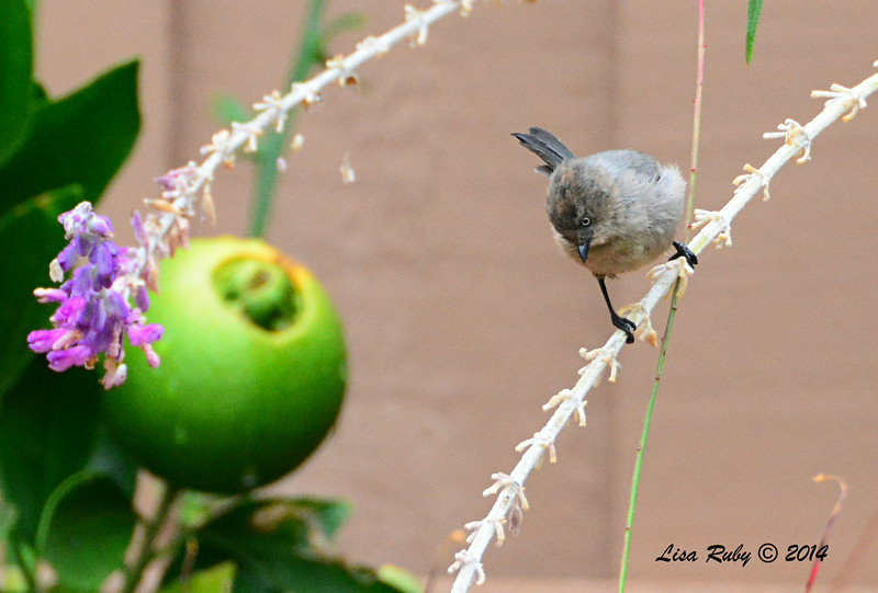Female Bushtit, check out its size next to the naval orange - 8/2/2014 - Backyard, Sabre Springs