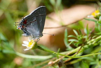 2021_7_31 Lepidoptera in yard