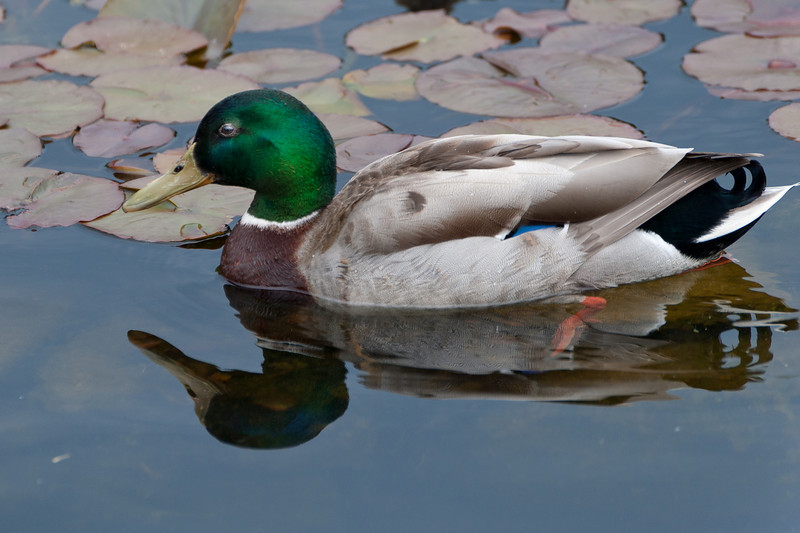 Duck reflected on water at the pond - Vienna, Austria