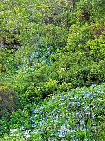 Üppiger Pflanzenwuchs, Insel Pico, Azoren, Portugal,