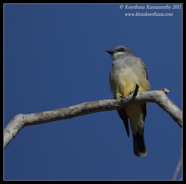 Cassin's Kingbird, Lake Murray, San Diego County, California, December 2011