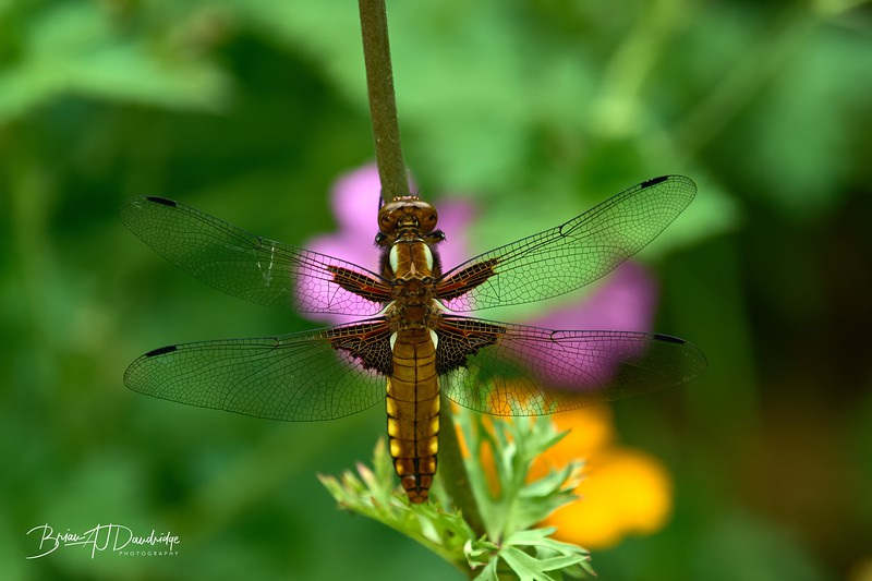 Broad-bodied Chaser-0251_DxO - 2-36 pm.jpg