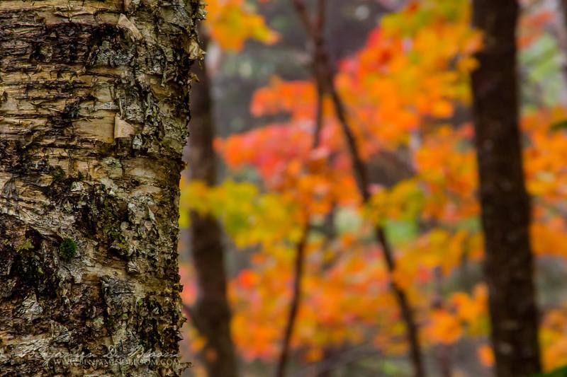 Rainy Fall Foliage
