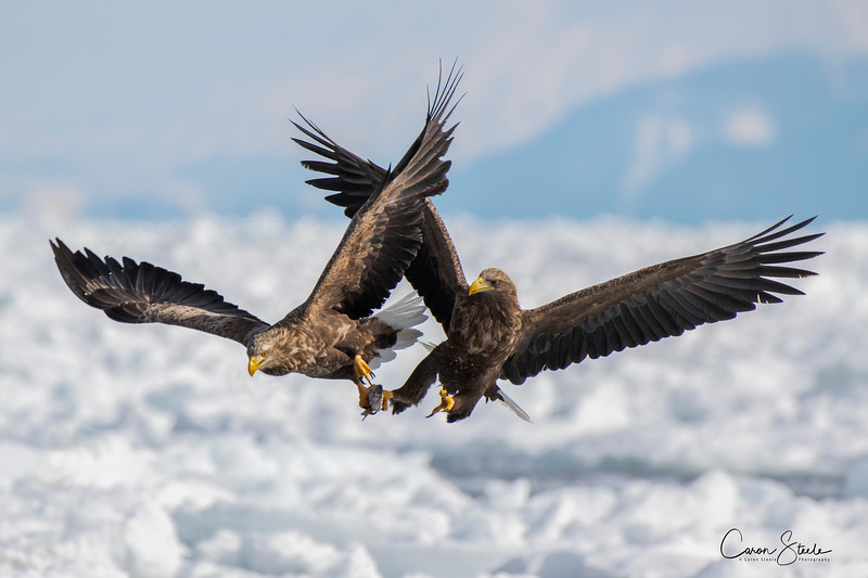 White-tailed Eagles Batteling over food.