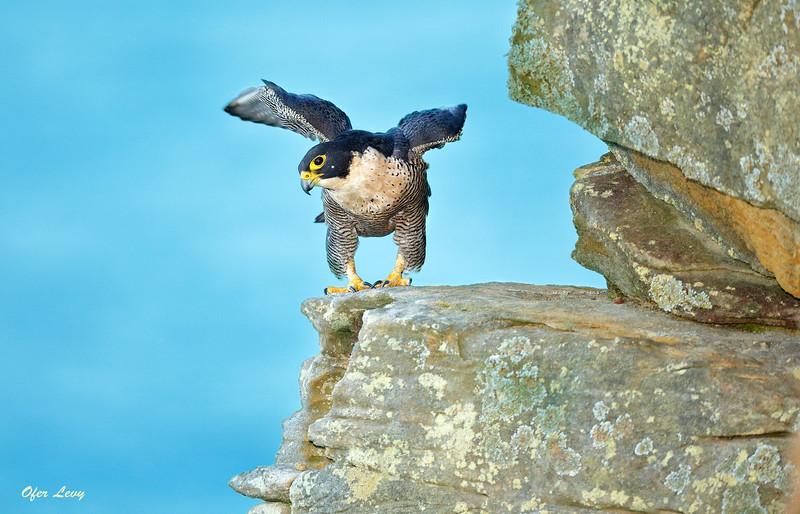 Peregrine Falcon 20.jpg