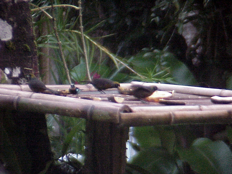 Dusky-faced Tanagers at El Gavilan Lodge Costa Rica 2-11-03 (50898120)