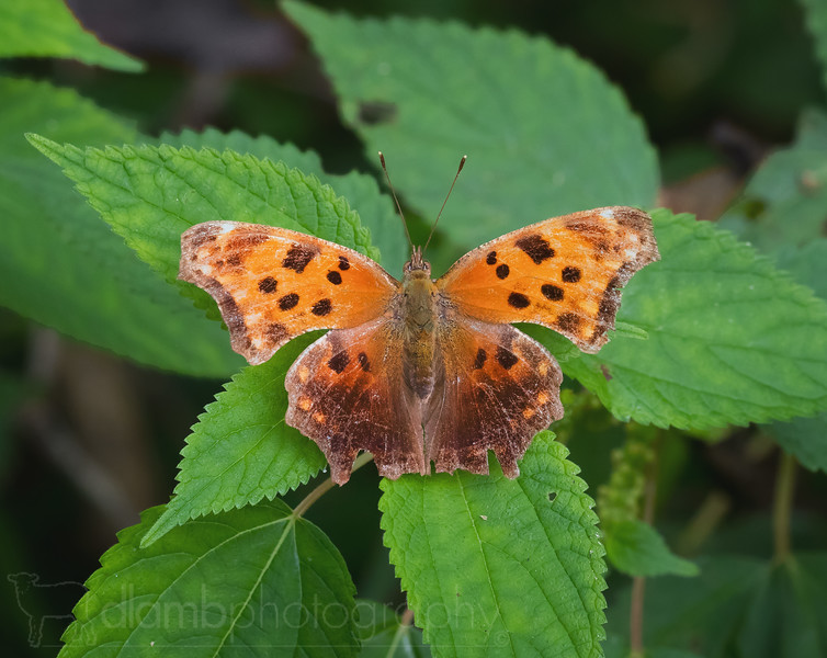 Eastern Comma Butterfly at Rest