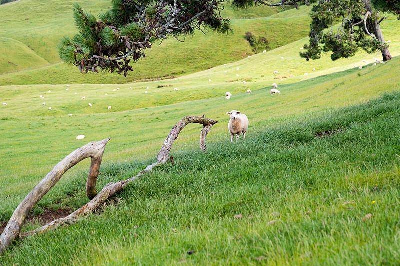 Sheep and landscape in Matamata, NZ.
