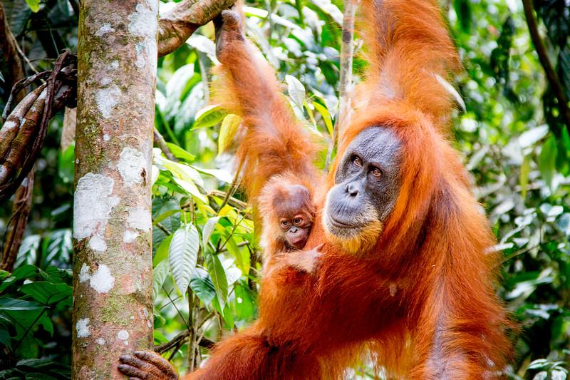Sumatran Orangutan (Pongo abelii) with very young baby, Gunung Leuser National Park, Sumatra, Indonesia