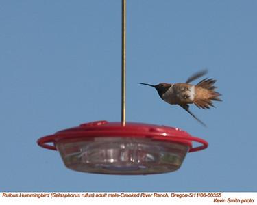 RufousHummingbirdM60355.jpg