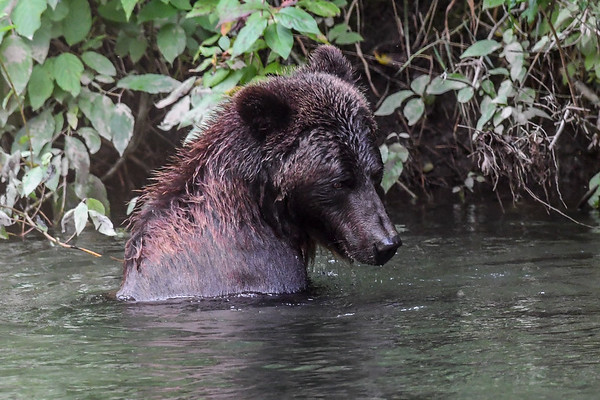 9-13-17 ** Bella Coola Grizzly - Mom & 2  Cubs