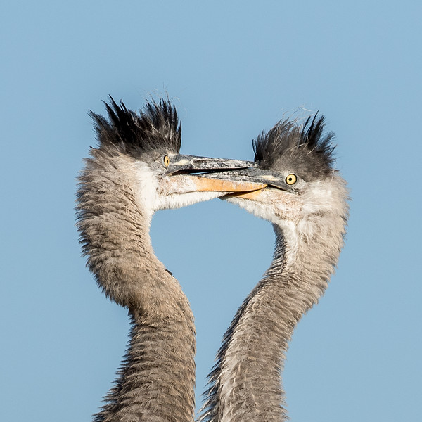 GB Heron Chicks-5174.jpg