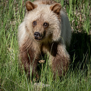6-30-20 Grizzly Bear - Blondie Cubs