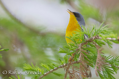 Tropical Parula (Setophaga pitiayumi). Texas, 04.2012
