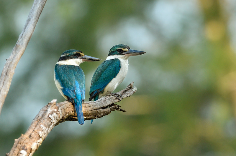 Collard-kingfisher-awesome-twosome-little-andaman.jpg
