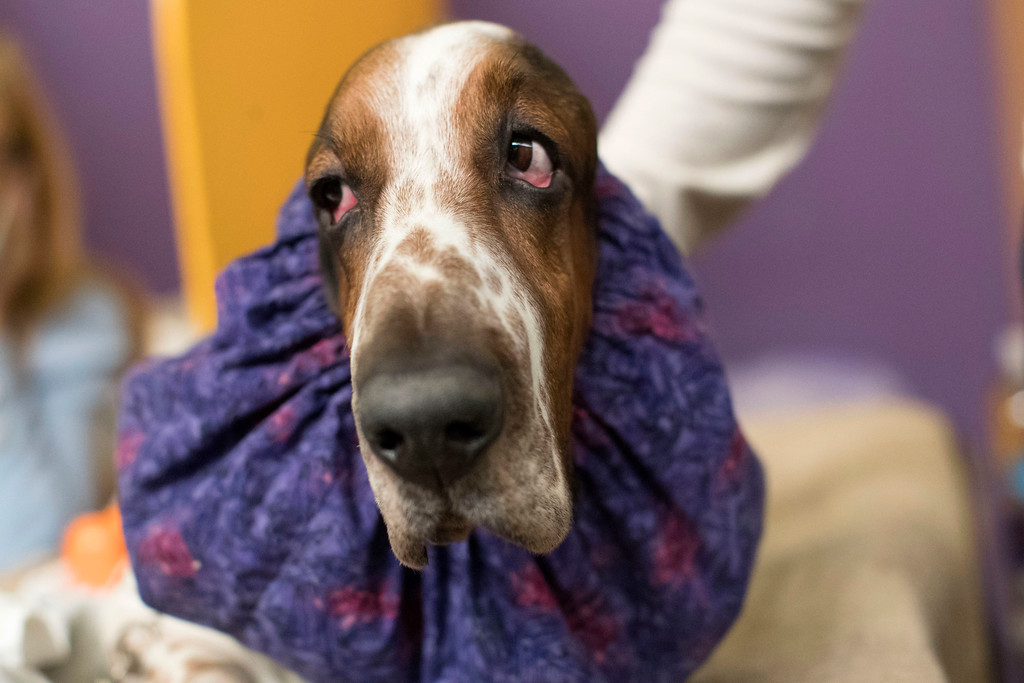 . Davis, a basset hound, waits in the staging area during the Westminster Kennel Club Dog Show, Monday, Feb. 13, 2017, in New York. (AP Photo/Mary Altaffer)