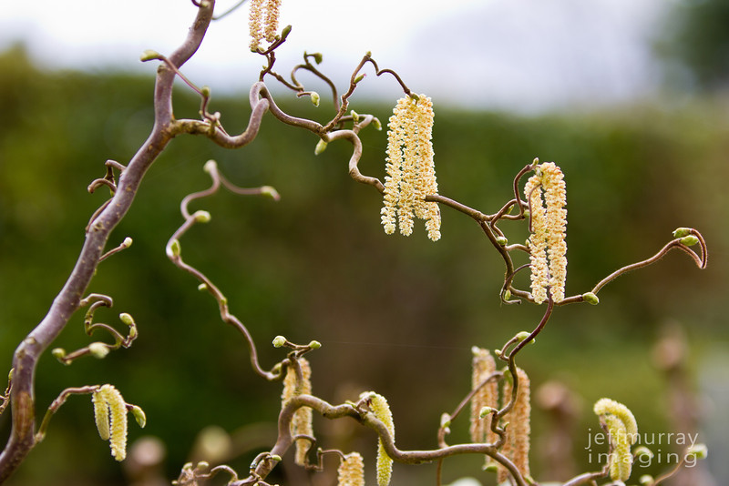 Twirly whirly seed pods.