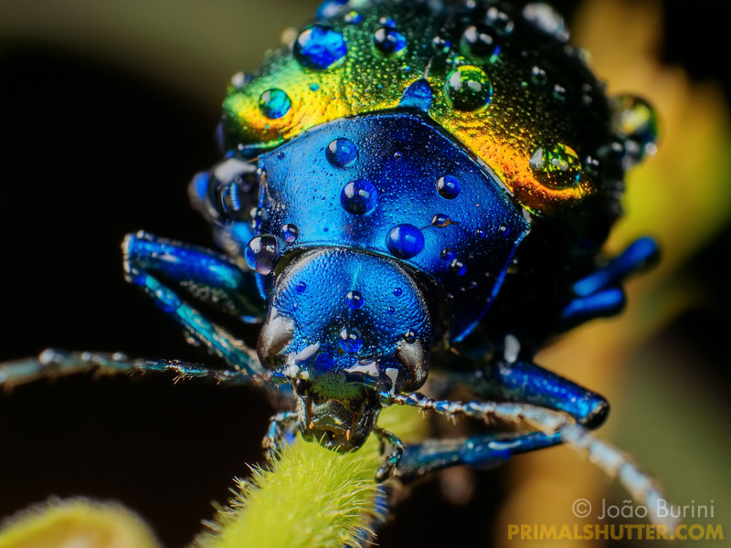 Details of a metallic leaf beetle covered in rain droplets
