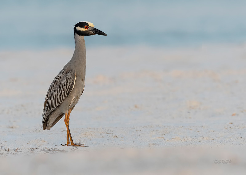 Yellow-crowned Night-Heron, Fort De Soto, St Petersburg, FL, USA, May 2018-1.jpg