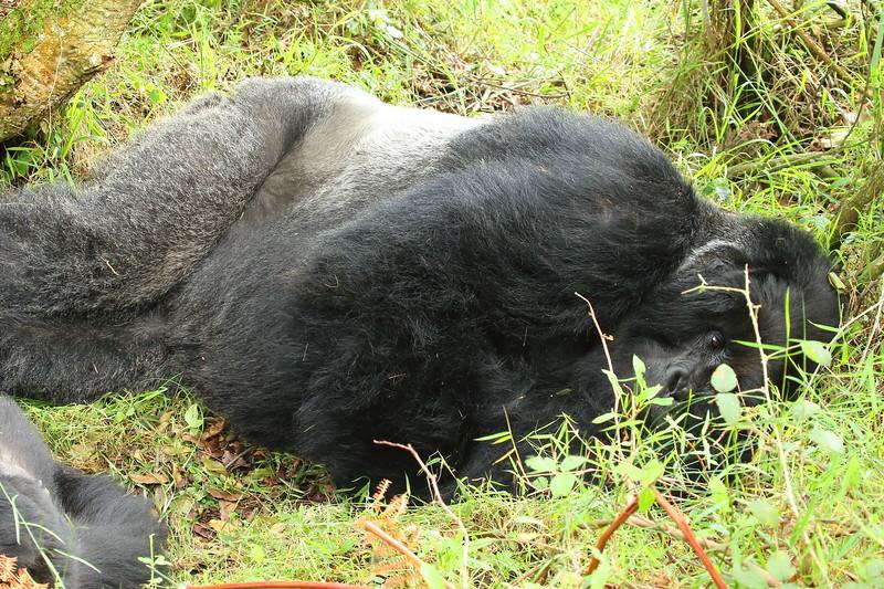 Gorilla0022.JPG