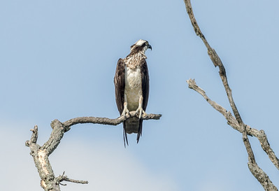 Osprey aka The River Hawk ...