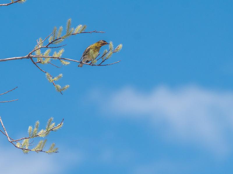 Cape May Warbler warbler wave Moose Lake Sewage Ponds road Carlton County MN  P1066744.jpg