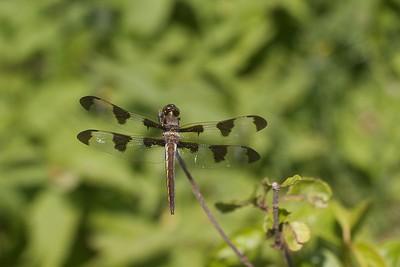 Libellula pulchella (Twelve-spotted Skimmer)