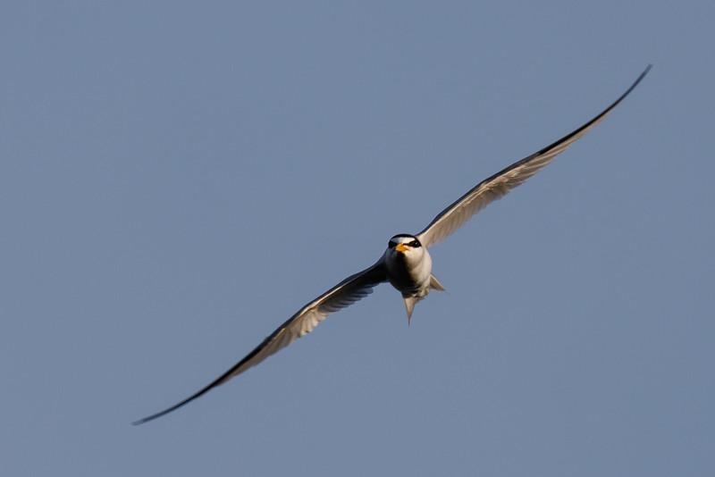 Tern in a Turn-0057.jpg
