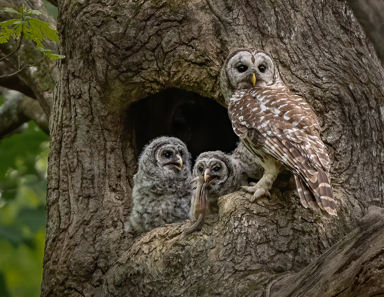 Barred Owl Family Portrait