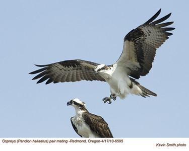 OspreysP6595.jpg