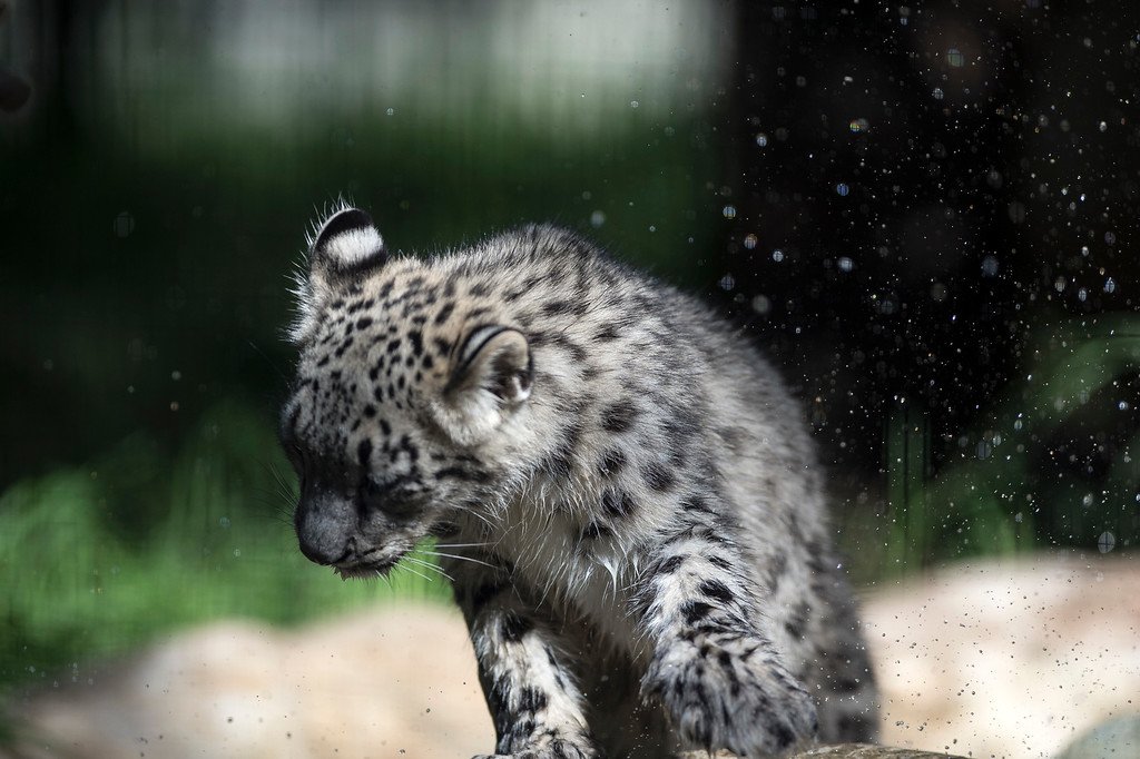 . A Snow Leopard cub shakes water off its paw in a habitat at Los Angeles Zoo and Botanical Gardens on Tuesday, Sept. 12, 2017. (Photo by Ed Crisostomo, Los Angeles Daily News/SCNG)