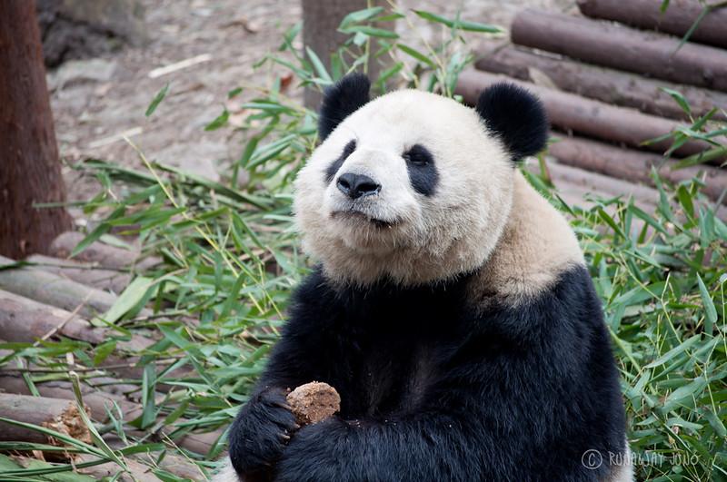 Happy_Panda_eating_food_Chengdu_Sichuan_China.jpg