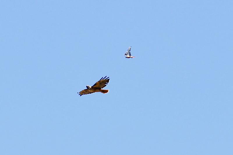Hawk_082310_045.jpg
