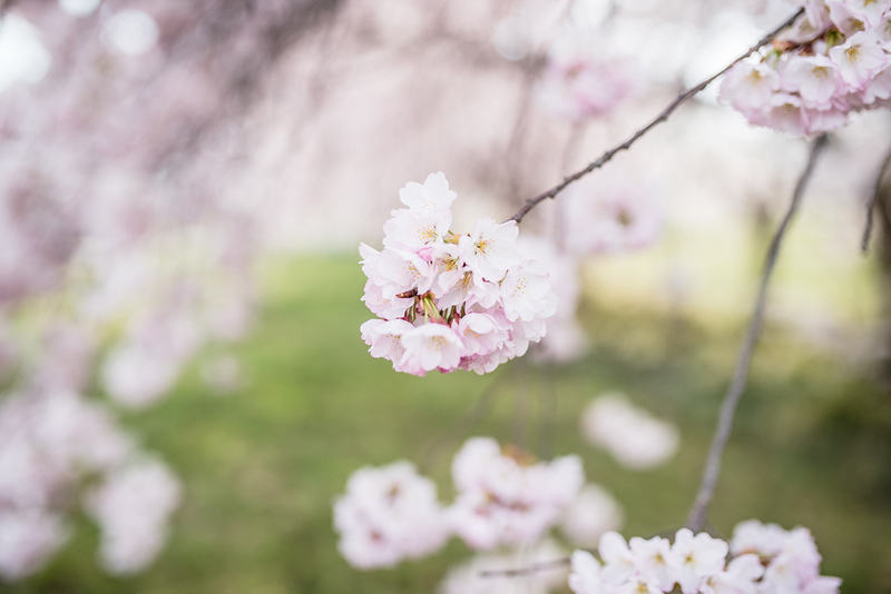 Cherry Blossoms (49 of 182).jpg