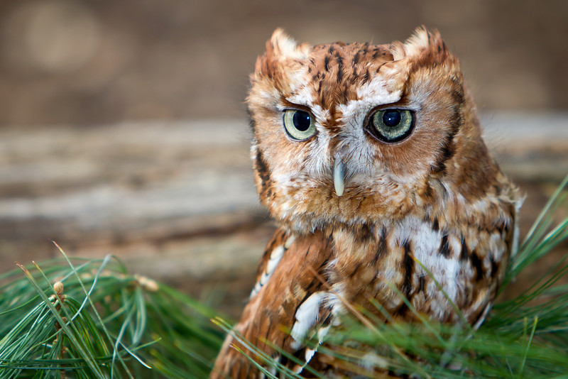 Eastern Screech Owl (Red) 2