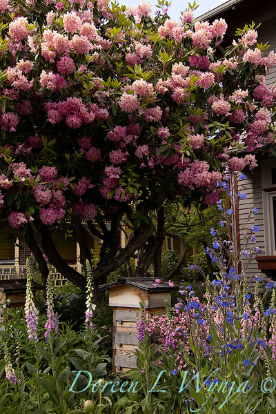 Rhododendron pink - bee hive box cottage garden_1644.jpg